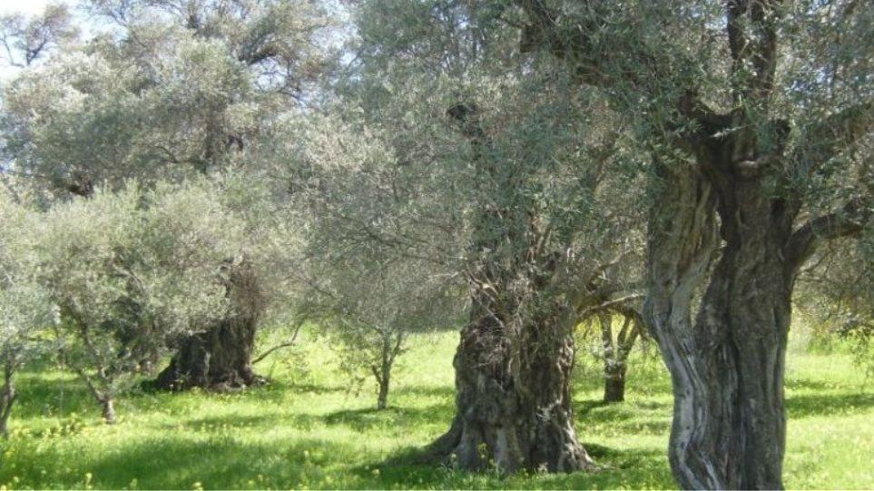 Πωλείται κτήμα 4 στρεμμάτων με ελιές καλαμών και λαδοελιές στον Άγιο Θωμά Μεσολογγίου