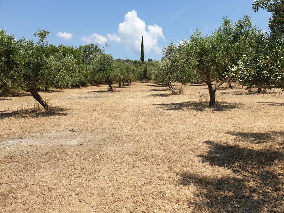 Πωλείται κτήμα 19 στρεμμάτων με 310 δέντρα ελιές στην περιοχή Άγιος Θωμάς Μεσολογγίου